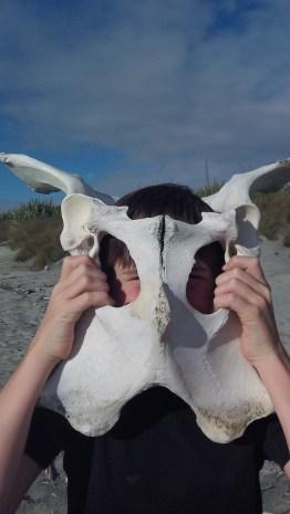 Whale vertabrea or cow pelvis