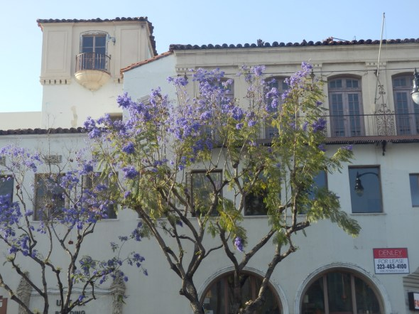 These trees were in bloom all over L.A. They looked fab.