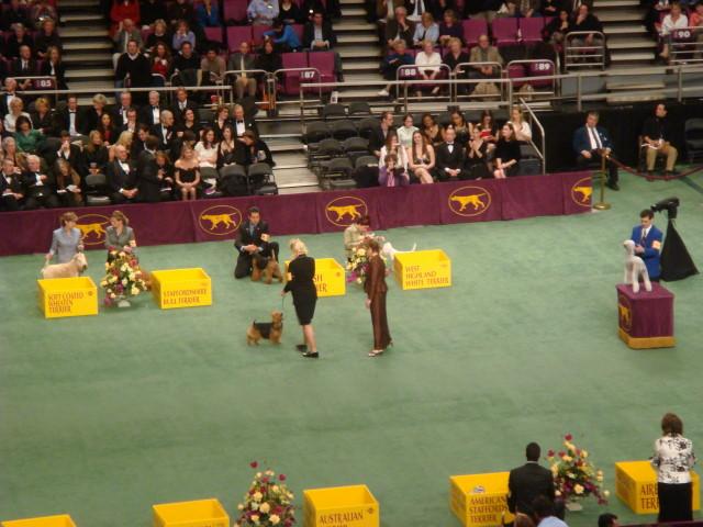 20080211-westminster-23-australian-terrier-_11.jpg