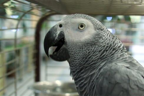 Какие домашние попугаи разговаривают
