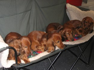 Longhaired Sausage Dogs