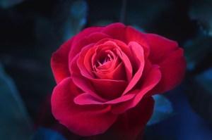 Vibrant-Rose
