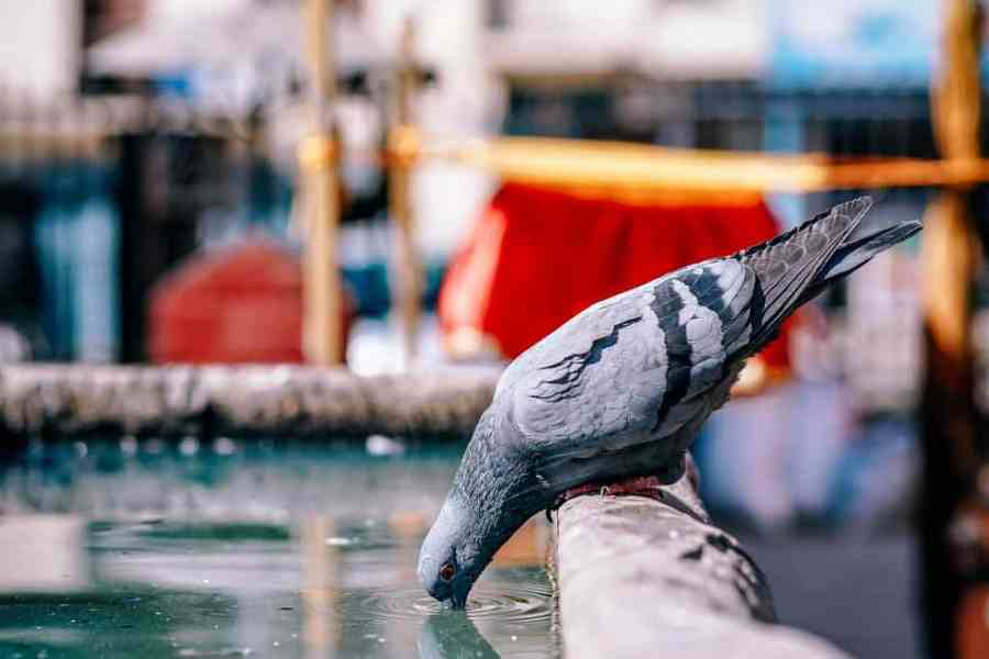 Pigeon drinking water at a Hindu temple in Nepal.