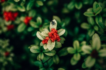 Beautiful-Red-Flower-with-Green-Leaves-and-a-Big-Fly-on-top-of-it