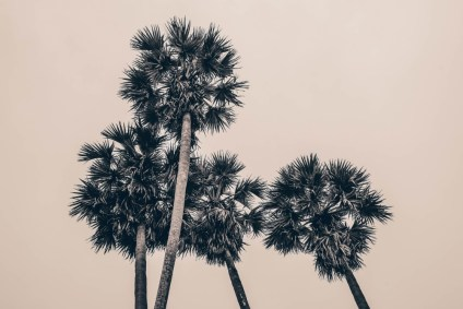 Tall-Palm-Trees-in-the-Cambodian-Sky