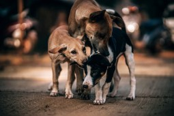Three-Dogs-Playing-With-Each-Other