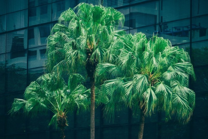 Three-Luscious-Palm-Trees-in-front-of-a-Large-Building