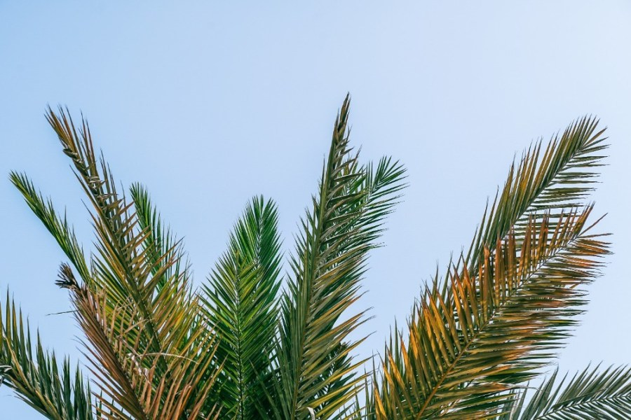 Top-of-a-Palm-Tree-with-the-Sky-in-the-Background