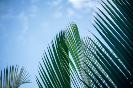 Vivid-Windmill-Palm-Leaves-with-the-Blue-Sky-in-the-Background