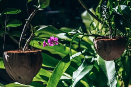 Beautiful-Pink-Flower-Planted-in-a-Coconut