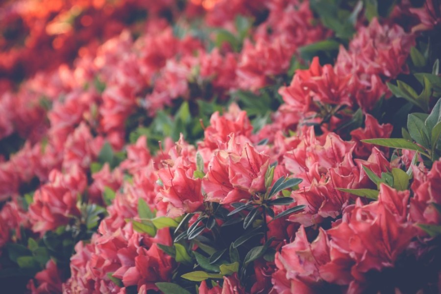 Close-up-Shot-of-Pink-Flowers