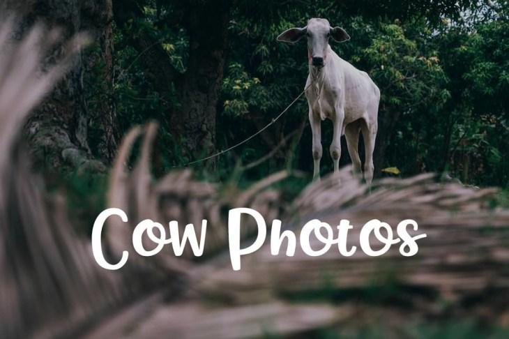 Free-Cow-Photos