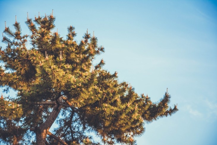 Tall-Pine-Tree-in-the-Sunlight