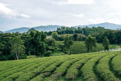 Beautiful-Green-Tea-Plantation