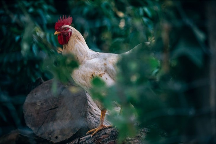 Beautiful-White-Rooster-Standing-on-a-Log