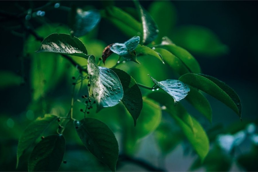 Morning-Dew-on-Tree-Leaves
