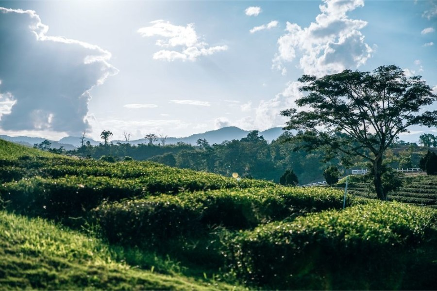 The-Sun-Shining-over-a-Tea-Plantation