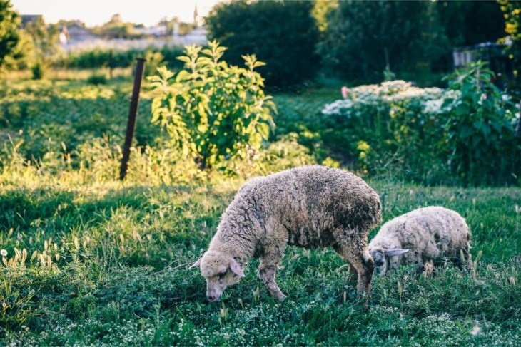 Two-Sheep-Eating-Grass
