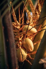 Yellow-Coconuts-During-Sunset