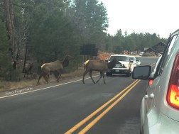 A big pack of elk held up traffic while they debated darting across the lanes for a while.