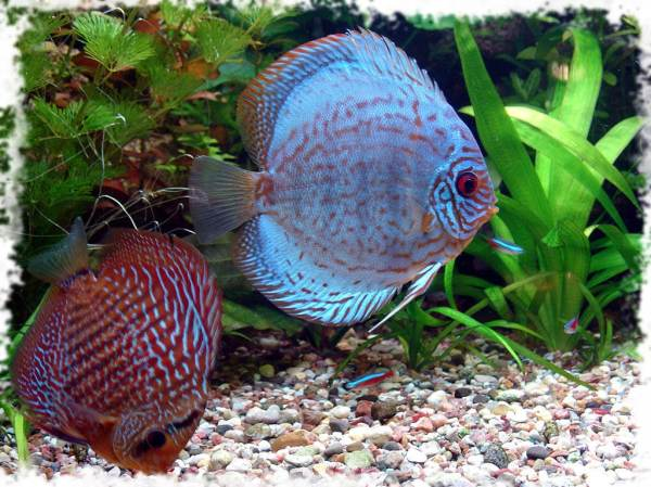 Самые красивые аквариумные рыбки: фото-видео обзор