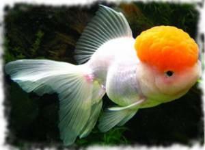 Виды золотых рыбок с названием и фото