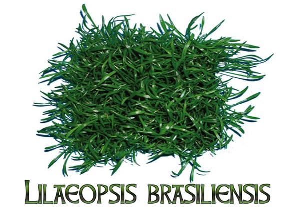 Лилеопсис бразильский для нано аквариума