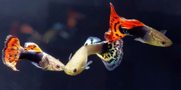 Рыбки гуппи для нано аквариума