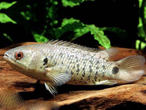 Списоккаталог аквариумных рыбок по алфавиту с фото и