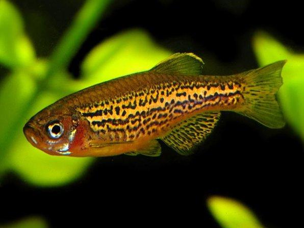 Рыбки данио для нано аквариума