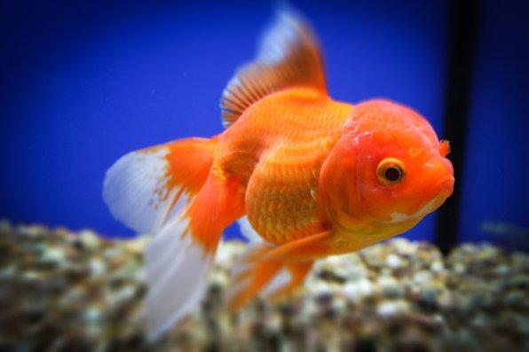 Виды и породы золотых рыбок с названием: фото-видео обзор