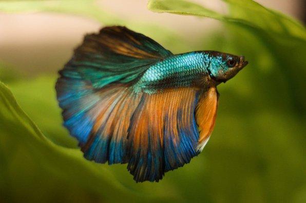 Рыбка петушок красивое фото