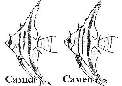 Scalaria ерлер және әйелдер