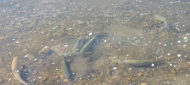 Friske regnbueørreder i Mjøls Lystfiskeri