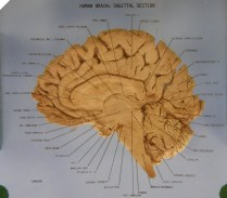 mid sagittal cross section of the human brain