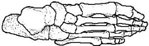 bones_of_ankle_foot