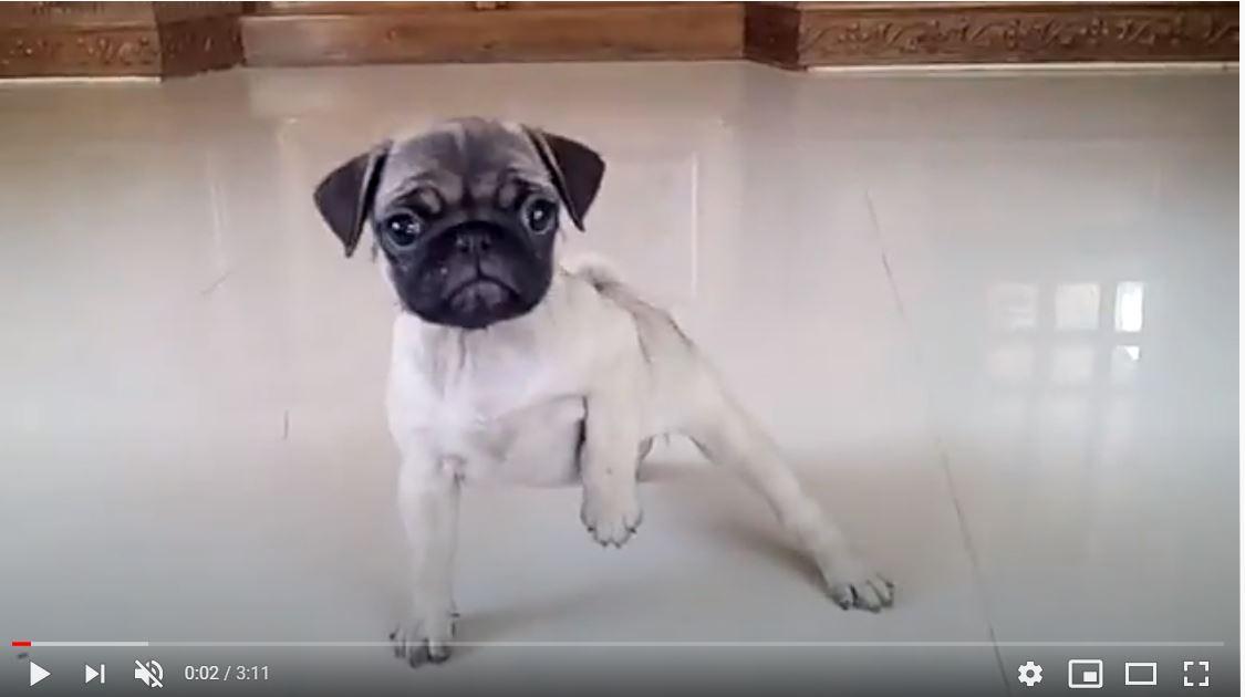 pug dog puglife pugs puglove puppy puppylove