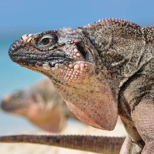 Exuma Iguana