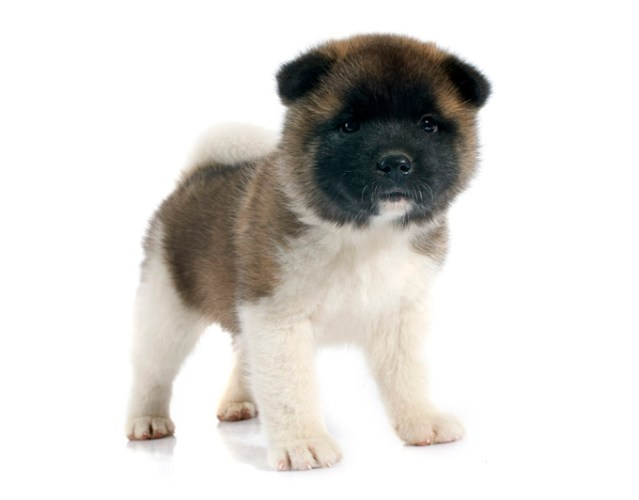Akita Puppy - dogs look like teddy bears
