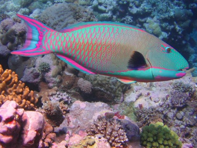 Rainbow Parrot Fish - beautiful and colorful fish