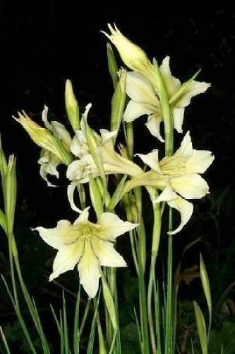 Night Gladiolus - Flowers Which Bloom Only At Night