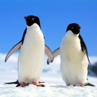 Some female penguins engage in prostitution. Performing sex act in exchange for pebbles. However, sometimes they will just trick the male into thinking they'll have sex, then run off once she gets the pebble.