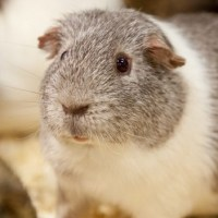 Meet Randy, the Guinea Pig that broke into the female enclosure at his Zoo, and impregnated around 100 females in 2014. He then became a father of around 400 babies.