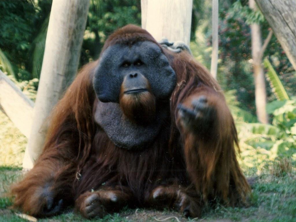 Ken Allen Orangutan