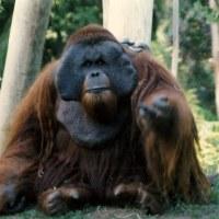 Conoce a Ken Allen, un orangután de Borneo en el zoológico de San Diego que escapó de su recinto tres veces. Nunca actuó de forma agresiva con nadie durante sus fugas y, en general, deambulaba por el zoológico mirando a otros animales.