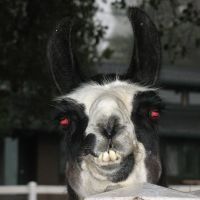 Llamas that spend too much time around humans are prone to BERSERK LLAMA SYNDROME. Such llamas believe that humans are fellow llamas, and sneak up behind them to attack.
