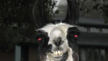 llama with red eyes