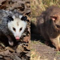 Are Opossums and Possums the Same?