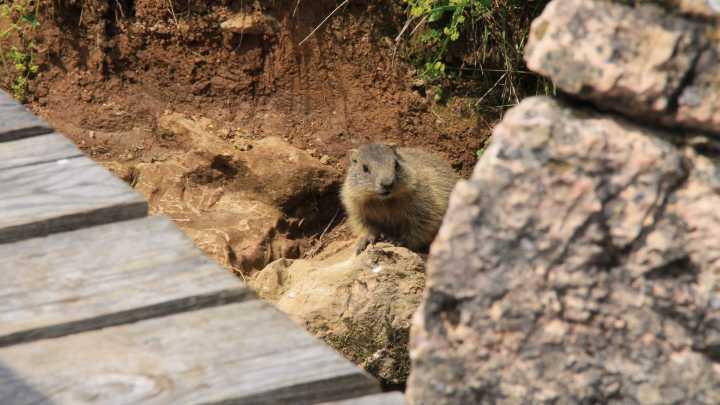 Marmot op de horn