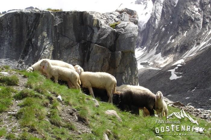 Obergurgl Gaisbergferner Schapen